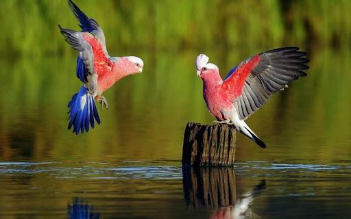Parrot Bird HD Wallpaper