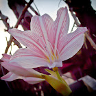 pink striped trumpet lily
