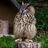 Eurasien Eagle-Owl