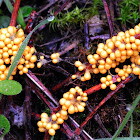 slime mold fruiting bodies