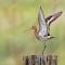 Uferschnepfe - Limosa limosa - Schnepfenvogel 3068.jpg