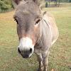 Domestic Donkey