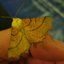 Canary-shouldered Thorn