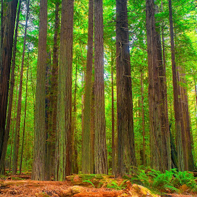 Tall Tall Trees by Christian Wicklein - Nature Up Close Trees & Bushes ( landskape, redwoods, green, colors, trees,  )