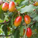 Cornelian cherry (Κρανιά)