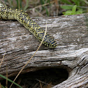 Common Speckled Kingsnake
