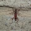 Eucalypt Longicorn Beetle