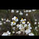 Everlasting daisy