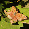 Satyr Angelwing butterfly