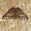 Borboleta Estaladeira / Cracker Butterfly
