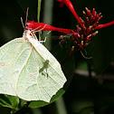 White-angled Sulphur