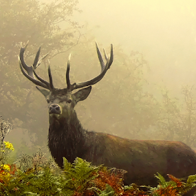 A king by Laimonas Šepetys - Animals Other Mammals ( deer,  )