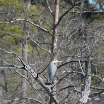 Birds of Hampton Roads and surrounding areas.