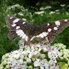 Southern White Admiral