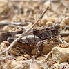 blue-winged grasshopper