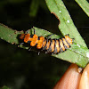 Pleasing fungus beetle larva