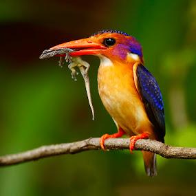 African Pygmy Kingfisher Ispidina picta by Chris Krog - Animals Birds ( pygmy, bird, kingfisher )
