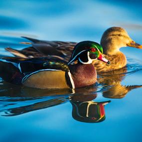 Wood Duck and Mallard 5087 by Ken Wade - Animals Birds ( wood duck, duck, water birds, aix sponsa, birds,  )