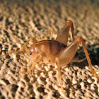 (Male) San Diego Camel/Cave cricket