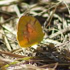Sleepy Orange Sulphur