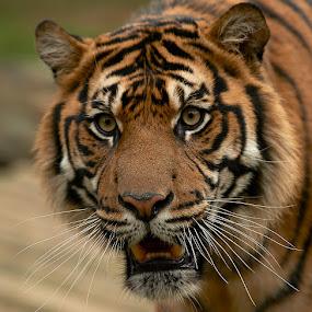 Tiger by Jim Merchant - Animals Lions, Tigers & Big Cats ( tiger, stare, close,  )