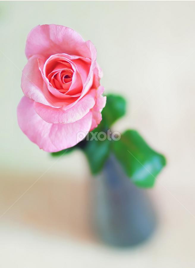Rose beauty by Nermin Smajić - Flowers Single Flower