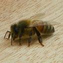 Common honey bee