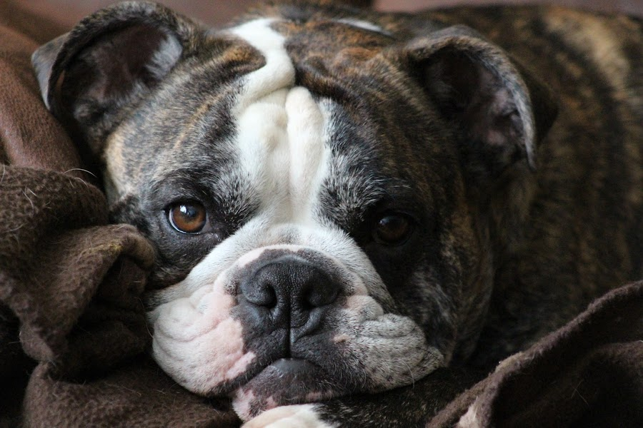 shrek our buddy by Judy Lachapelle - Animals - Dogs Portraits ( #showusyourpets, #garyfongpets,  )